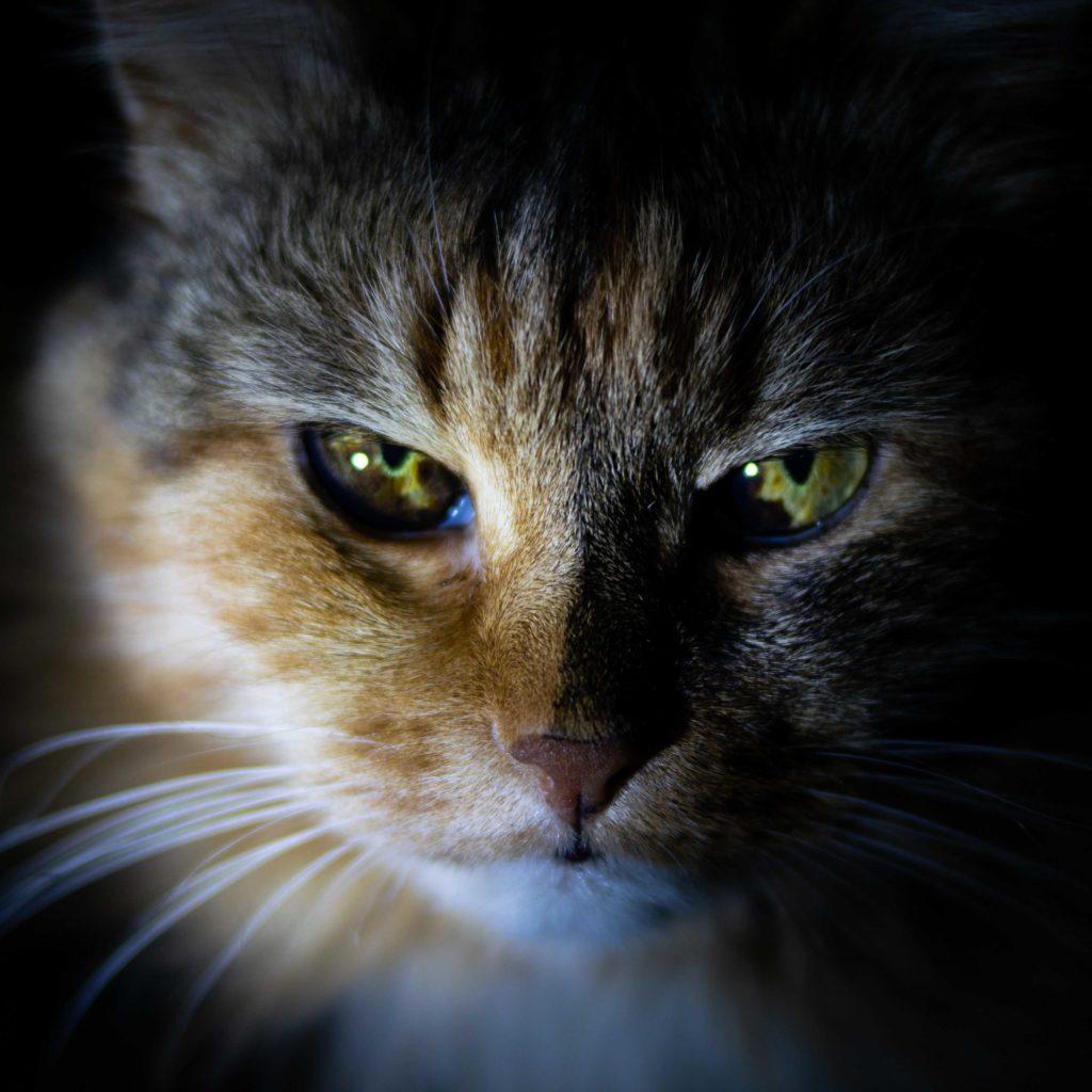pisica concentrata. obtine ce iti doresti