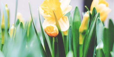florii-narcisa